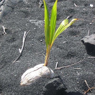 450px coconut germinating on black sand beach island of hawaii