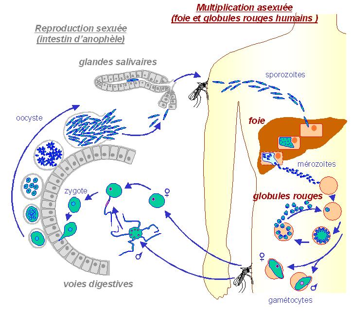 Cycle de plasmodium falciparum la transmission du parasite de lanophele seffectue au