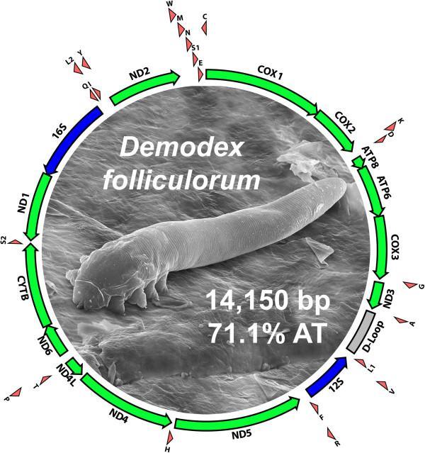 Demodex folliculorum sem