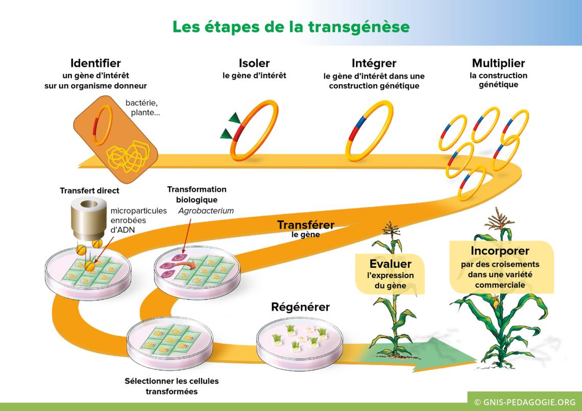Gnis pedagogie amelioration plantes etapes transgenese 1140x806