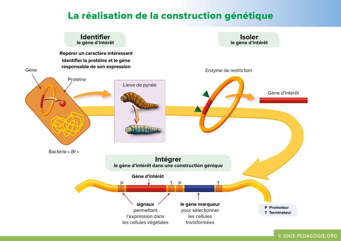 Gnis pedagogie amelioration plantes realisation construction genetique 1140x806