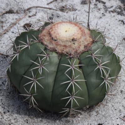 Melocactus violaceus ssp ritteri bahia brasil