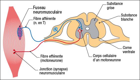 Reflexe mono